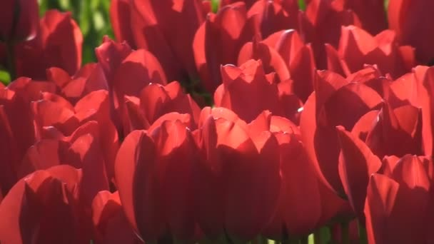 červené tulipány a fontána
