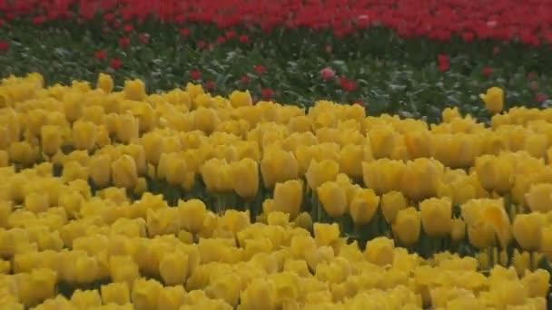 pole žluté a červené tulipány