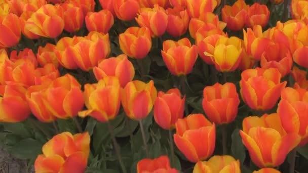 zářící červené a žluté tulipány