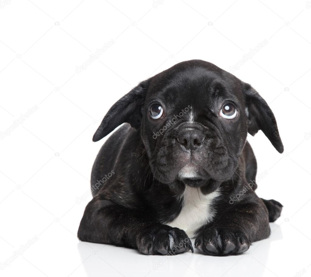 Scared French bulldog puppy