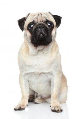 Pug dog on white background