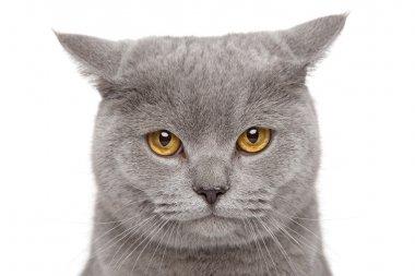 Angry British Short-hair cat