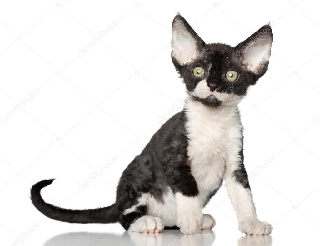 Devon rex chaton sur fond blanc photographie fotojagodka - Chaton devon rex ...