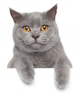 British gray cat on a white banner