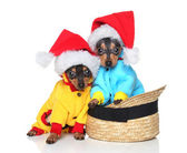Fotografie Toy Terrier in Xmas Mützen