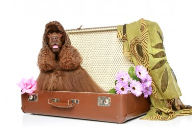 American cocker spaniel sits in suitcase