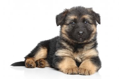 German shepherd puppy on white background