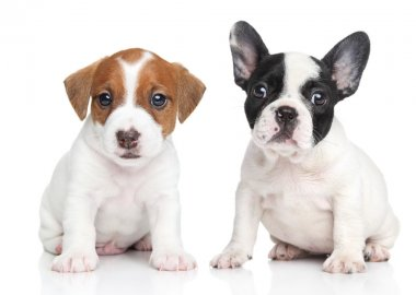 Jack Russell terrier and french bulldog puppies