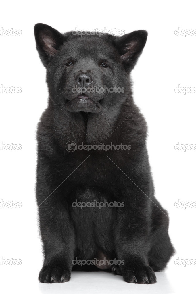 Black Chow Chow Puppy On White Background Stock Photo