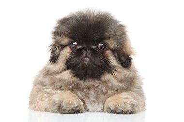 Pekingese puppy