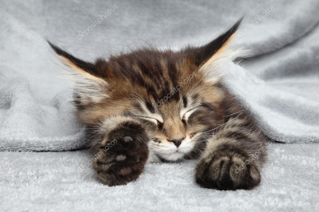 Maine Coon kitten sleep