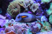 Fotografie blue fish