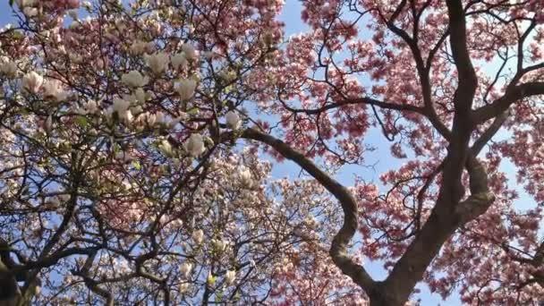 magnolie strom