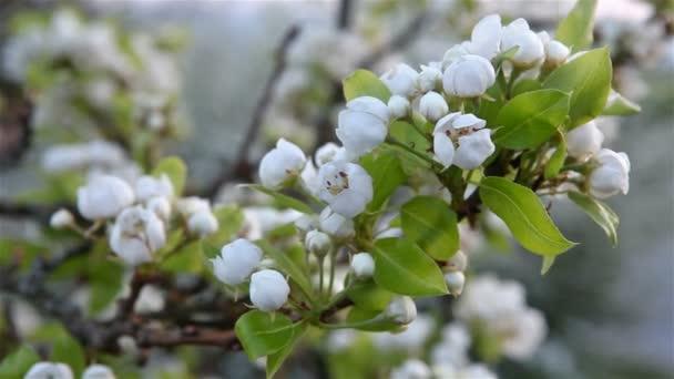 třešňové větve v květu