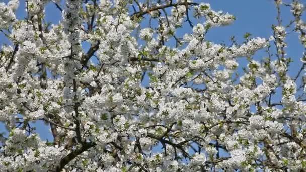 třešňový strom v květu