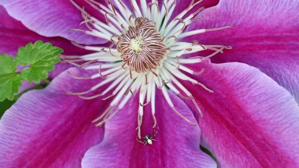 Klematisblüte und eine Spinne