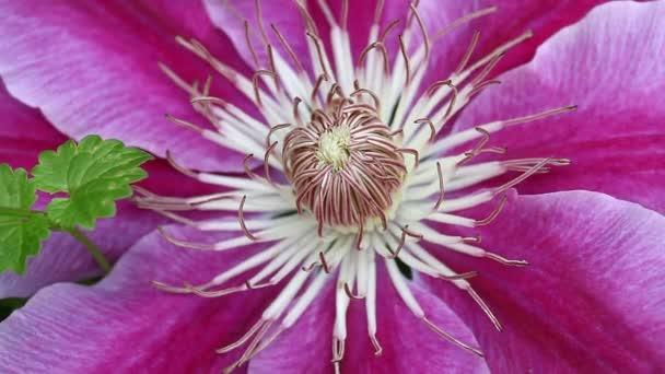Clematis virág és egy pók