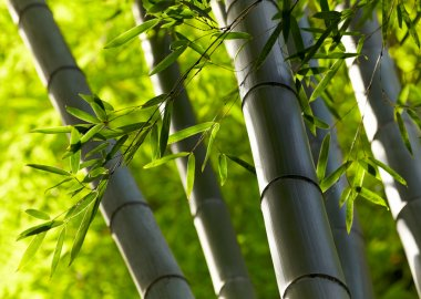 Bamboo forest background. Shallow DOF