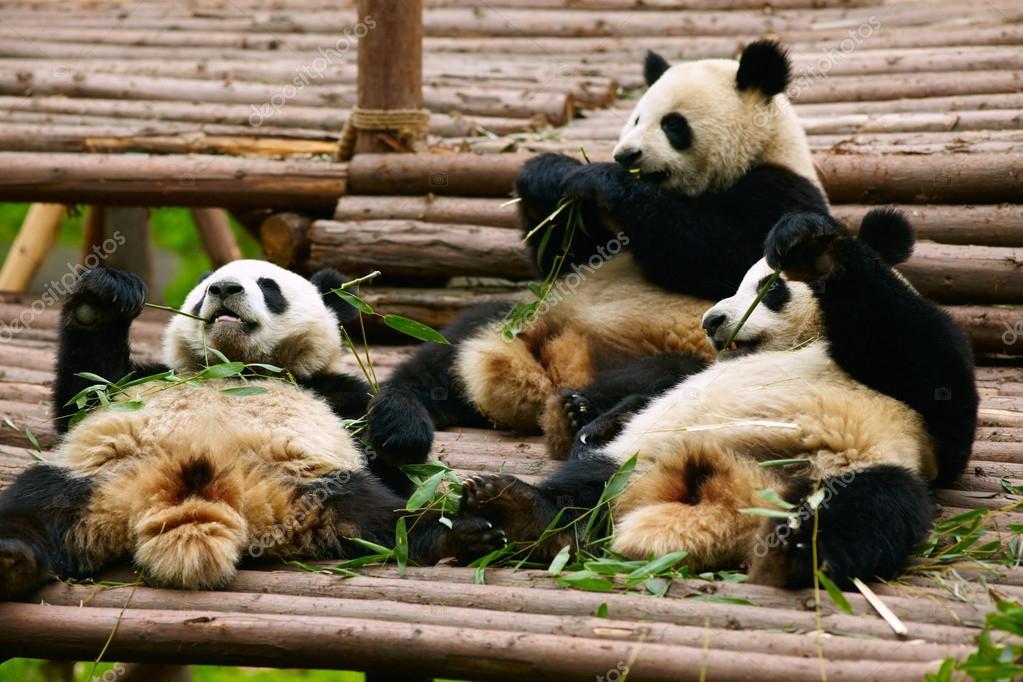 Giant panda bears