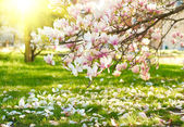 Fotografie magnolie strom