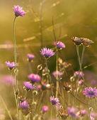 Fotografie Field flowers at sunset