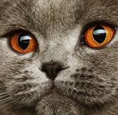 schottische Falte graue Katze