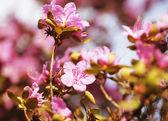 Sakura in the spring garden.