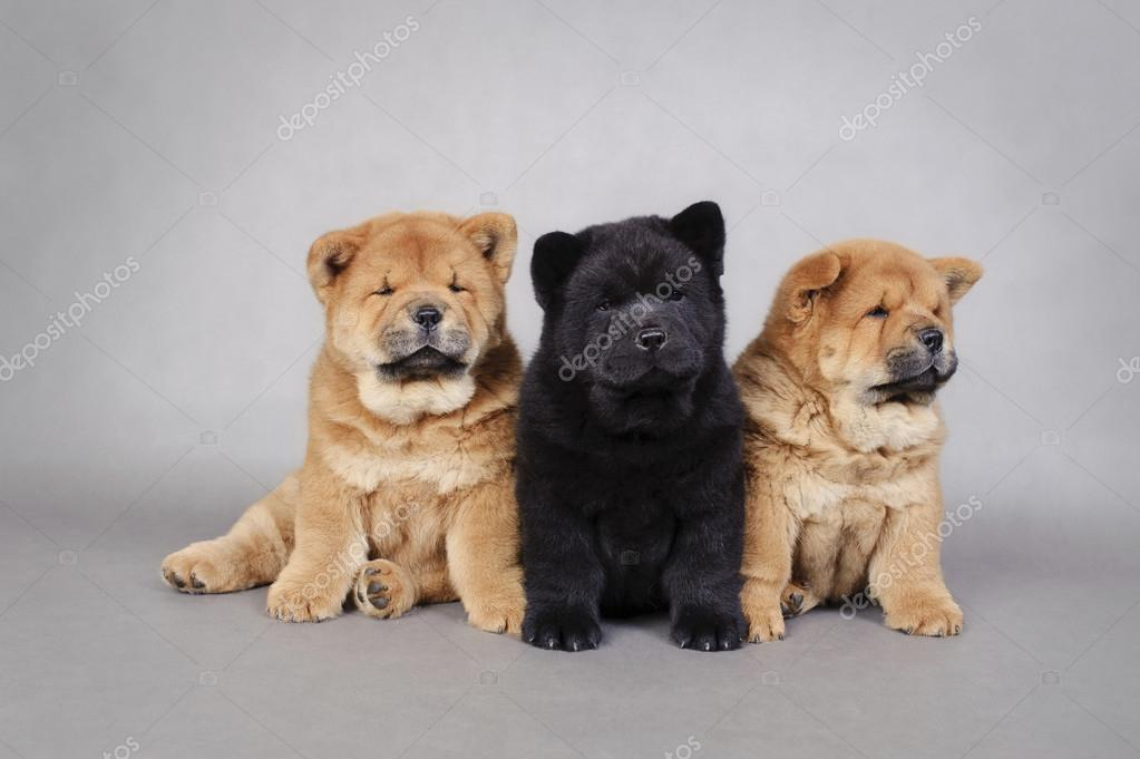 Three little Chow chow puppies portrait