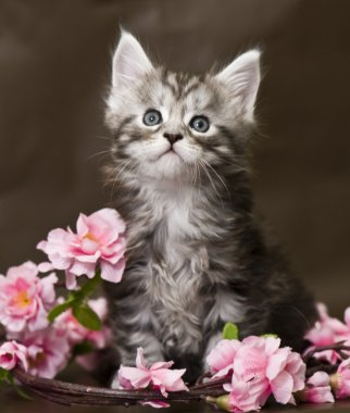 Maine Coon kitten with flowers