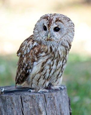 Sitting Barred owl