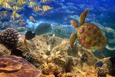 Indian ocean. Underwater world- Turtle and fishes