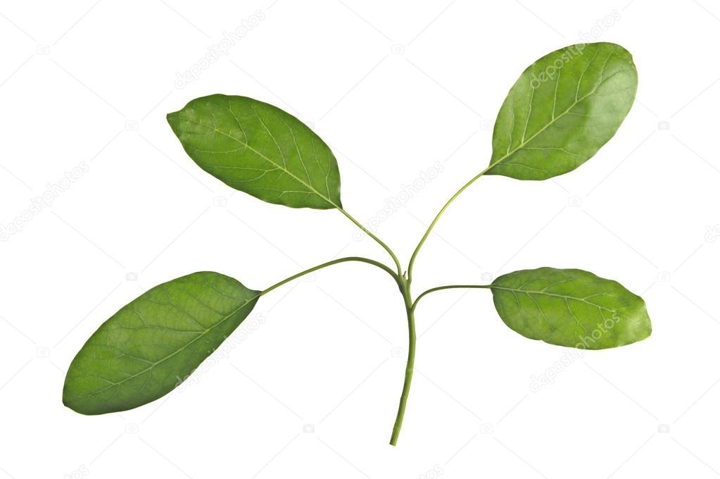 Branch of avocado tree