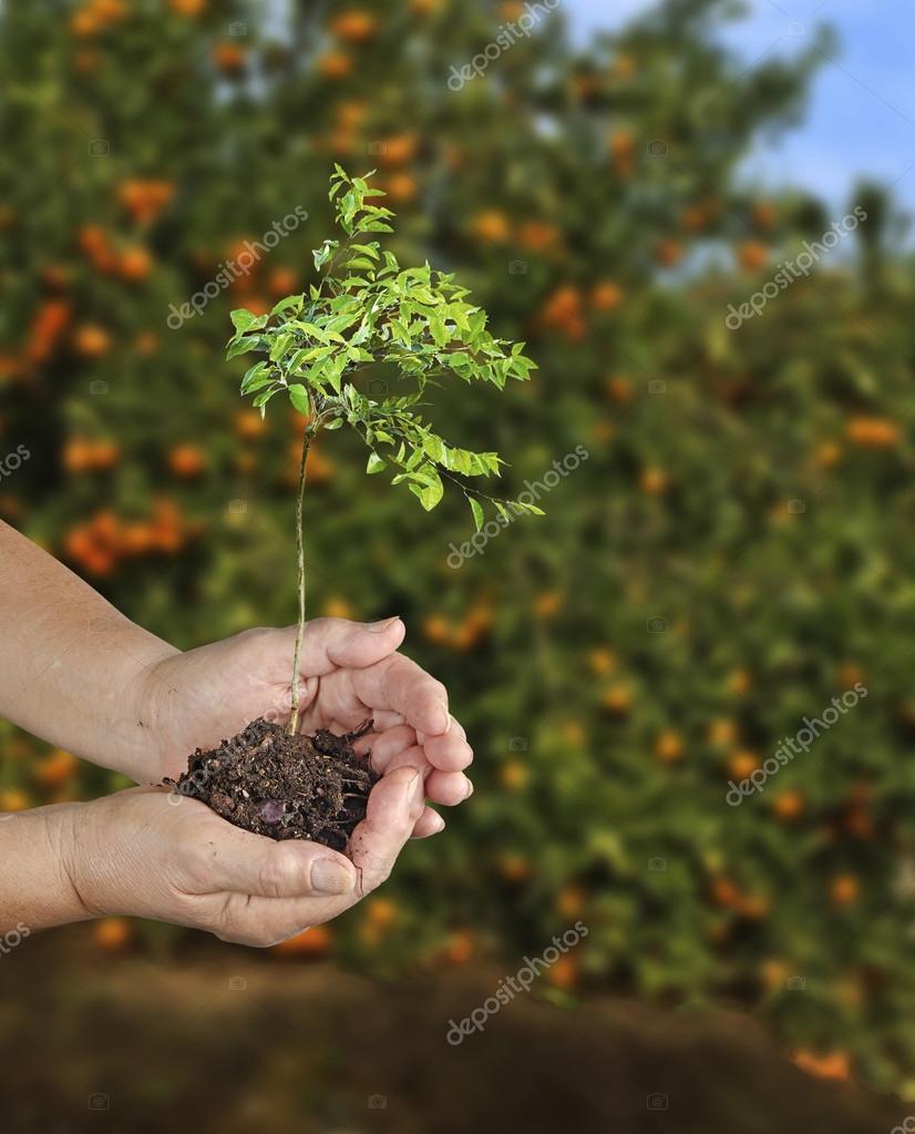 Woman planting citrus sapling