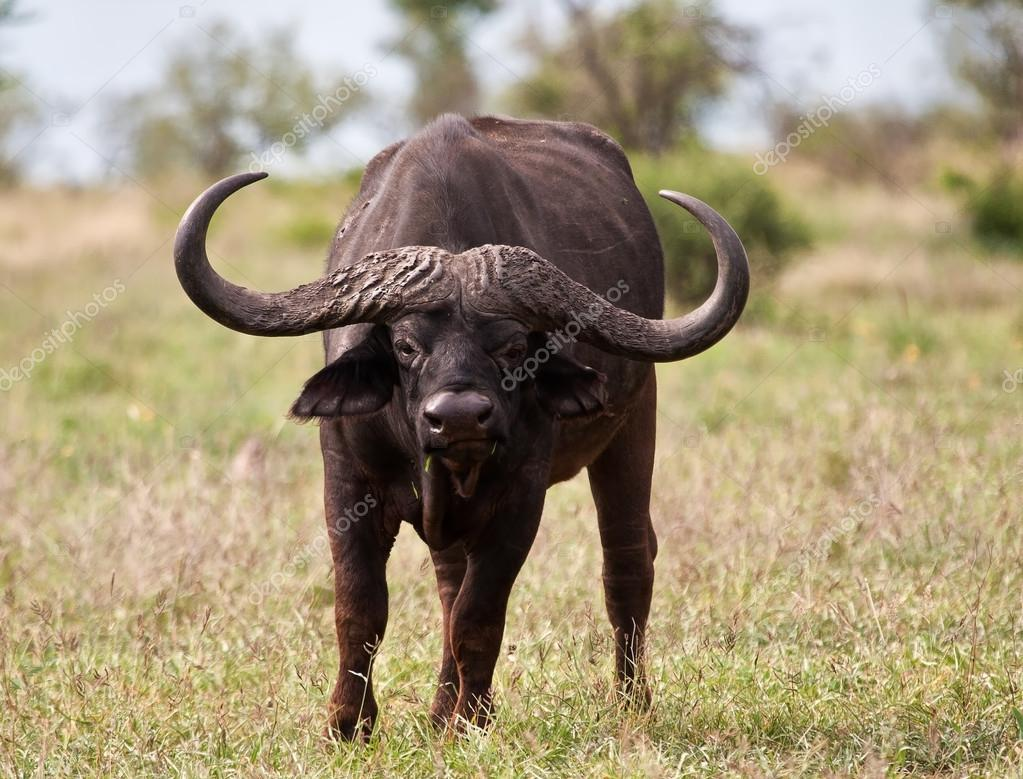 Buffalo bull with huge horns