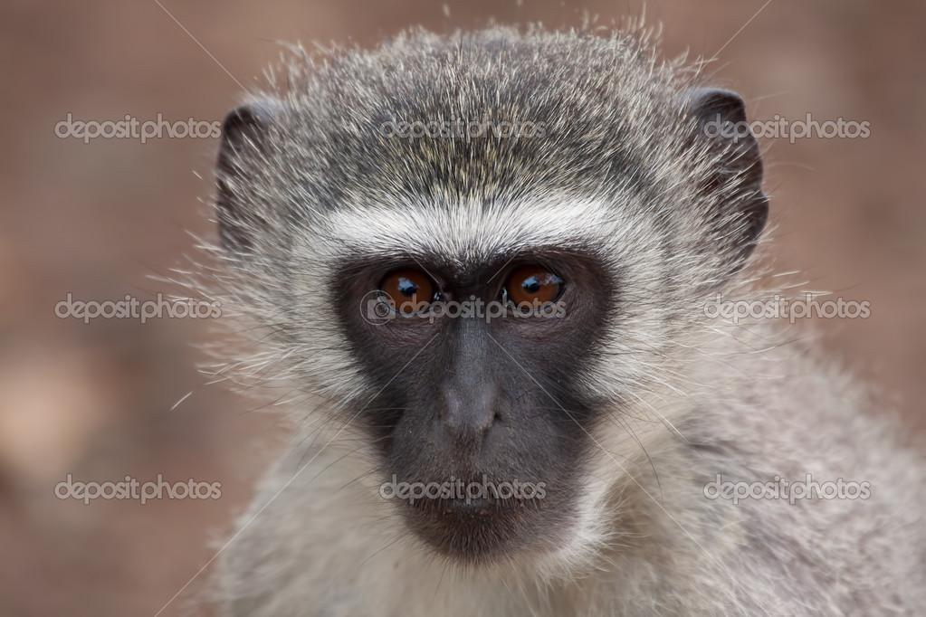 Vervet Maymun Yüzü Tatlı Stok Foto Aoosthuizen 23815285