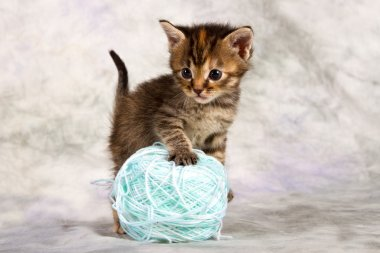 Kitten play with wool