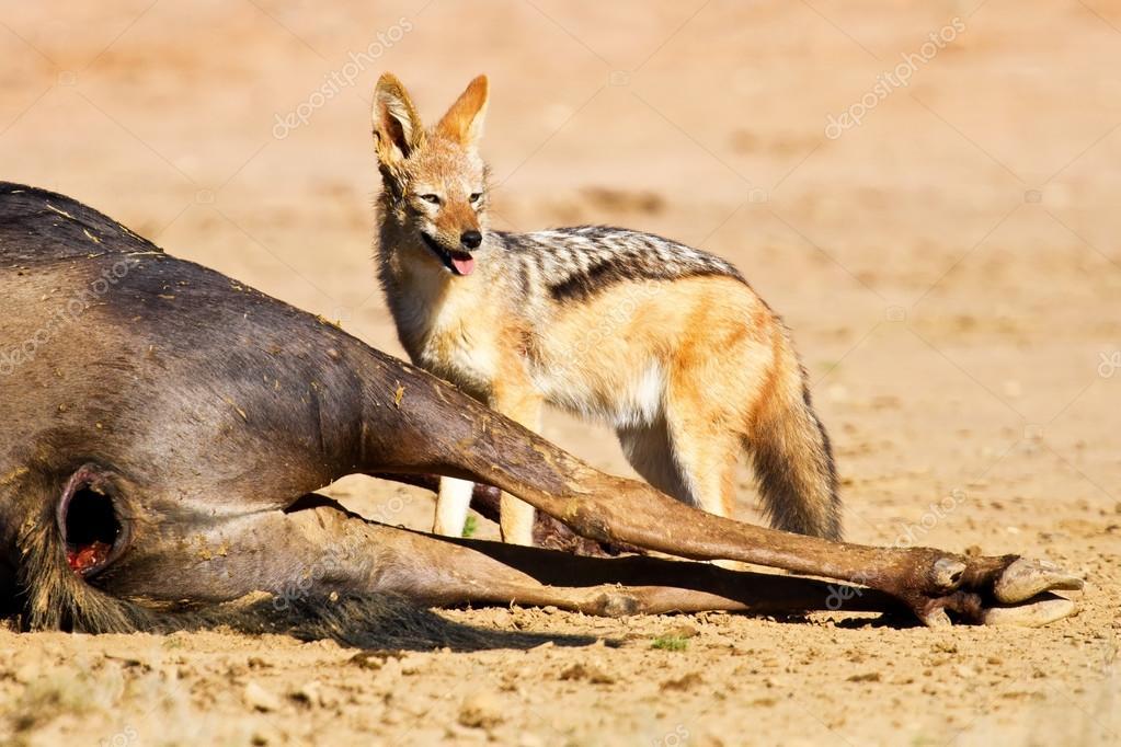 Black backed jackal eating dead