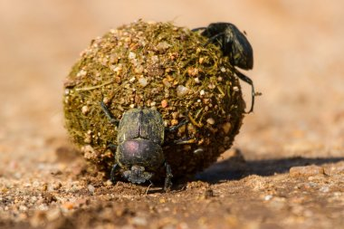Dung beetles rolling their ball with eggs inside