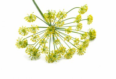 Fresh dill flowers