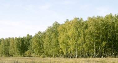 Birch forest landscape