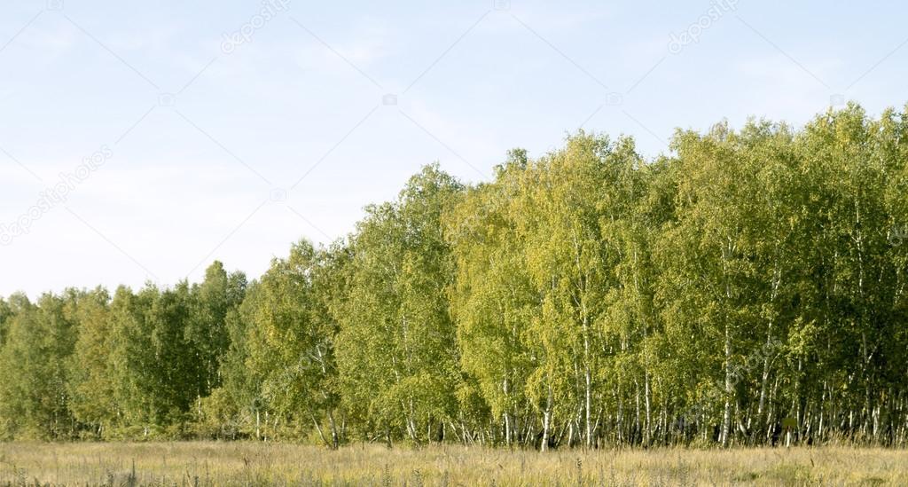 Фотообои Birch forest landscape