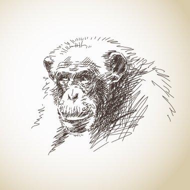 Chimpanzee head