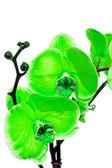 Fotografie Orchid