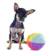 štěně čivava a míček