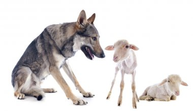 wolf and lambs