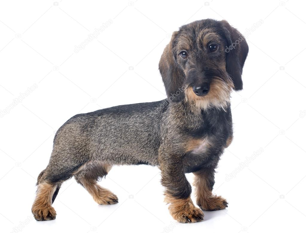 puppy Wire haired dachshund — Stock Photo © cynoclub #33722225