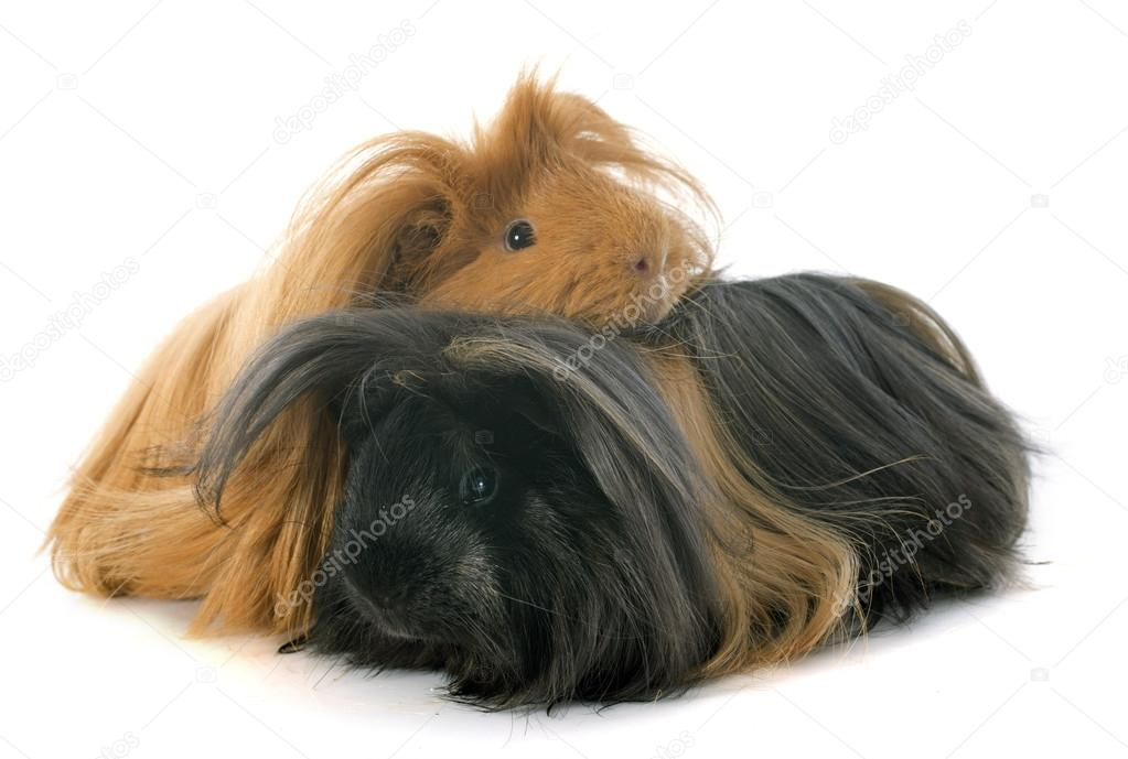 Guinea pig dating yorkshire