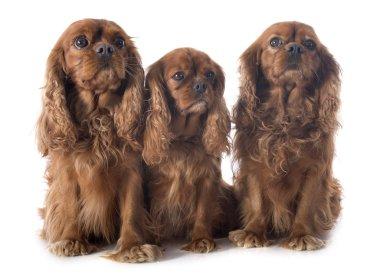 three cavalier king charles