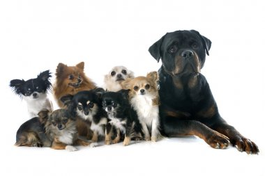 rottweiler and little dogs