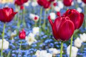 Tulipán szépség